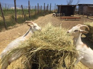 goats at podere il casale in pienza- de gustibus wine and food tours